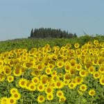 Girasoles en julio en la carretera entre Barberino y Cortine, Barberino Val d'Elsa, Florencia. Autor y Copyright Marco Ramerini