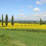 Cipressi e girasoli nei dintorni di Scarperia. Autore e Copyright Marco Ramerini