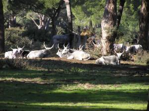 Mucche Maremmane, Parco della Maremma, Grosseto. Author and Copyright Marco Ramerini