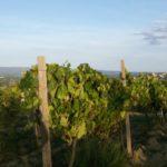 Veduta verso San Gimignano. Via Francigena da Gambassi a San Gimignano..