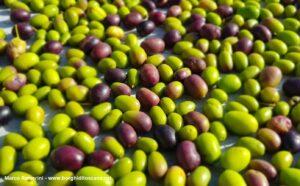 Olive. Autore e Copyright Marco Ramerini